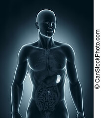 macho, bazo, anatomía, anterior, vista