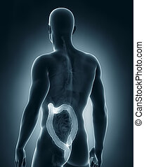 Man colon anatomy - Man colon natomy