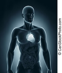 Male heart anatomy anterior view - Man heart anatomy...
