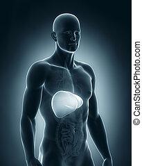 hombre, Hígado, anatomía