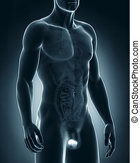 anatomie, testicules, homme