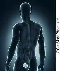 Man bladder antomy - Man bladder anatomy