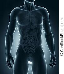 hombre, testículos, anatomía
