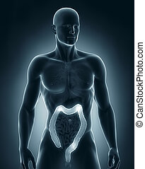 Man colon anatomy anteriror view - Man colon natomy anterior...