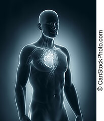 Male heart circulatory system