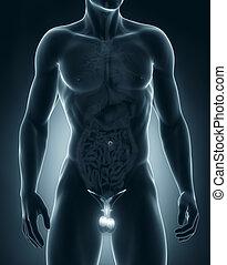 macho, genitales, anatomía, anterior, vista