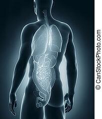 macho, Órganos, anatomía, trasero, vista