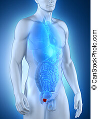 macho, próstata, anatomia, anterior, vista