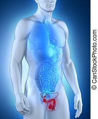 mâle, Organes génitaux, anatomie,...