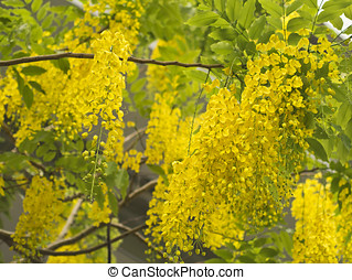 Golden Shower Tree, Cassia Fistula - beautiful blooming...