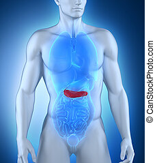 MAle pancreas anatomy - Male pancreas anatomy
