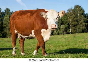 Hereford Cow - Hereford cow walking and grazing on the...