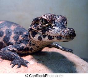 Dwarf crocodile baby - African dwarf crocodile Osteolaemus...