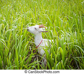 Goat eating grass in farm from central of Thailand