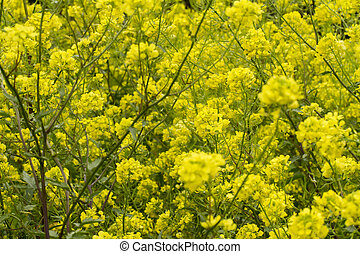 rapaseed Brassica napus flower - Close view of the beautiful...