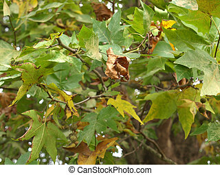 Sycamore or Platanus tree