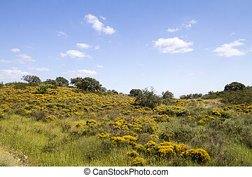 Algarve countryside hills with yellow bushes in Spring -...