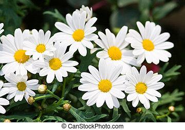 Margerite, Leucanthemum - oxeye flowers