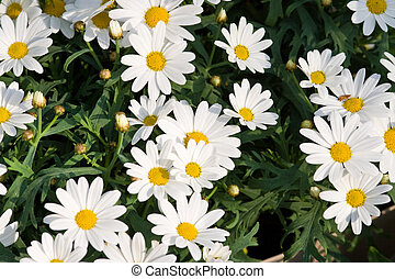 oxeye flowers