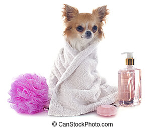 after the bath - purebred chihuahua after the bath in front...