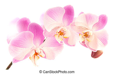 phalaenopsis - light magenta phalaenopsis orchis isolated on...