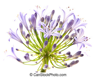 African Lily isolated on white
