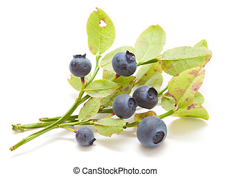 bilberry isolated - small branches of bilberry bush isolated...