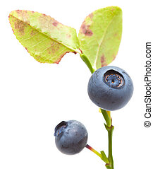 bilberry isolated - small branch of bilberry bush isolated...