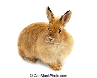 jengibre, conejo