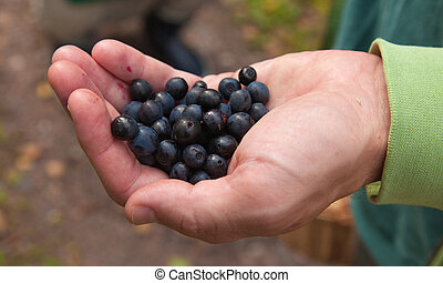 foraging - male hand full of bilberry