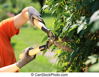 Hedge Trimming - A gardener cutting a hedge in the garden,...
