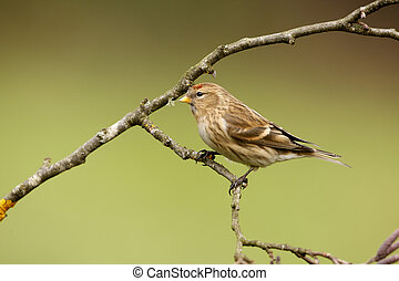 Lesser redpoll, Carduelis cabaret, single bird on branch,...