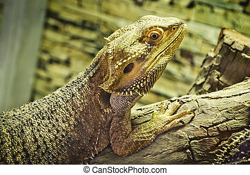 bearded dragons (pogona vitticeps) on the wood.
