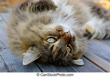 Norwegian Forest Cat with cuddly look. - Furry and fluffy...