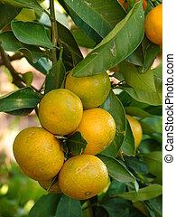 Tangerines on tree macro