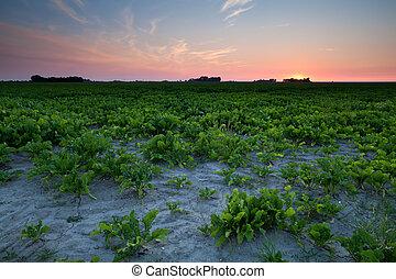 summer sunset over beet field