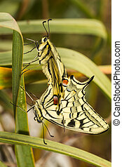 Swallowtails (Papilio machaon) butterflies mating - Close up...