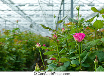 greenhouse with roses - cultivation of roses in a greenhouse...