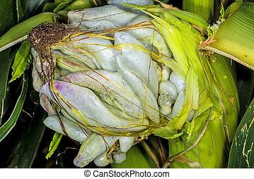 Corn smut, Ustilago maydis