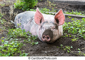 pig on a farm - dirty pig lying in the mud with dirty snout