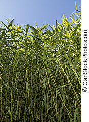 busy Giant Cane Arundo donax plants - Upward view of a busy...