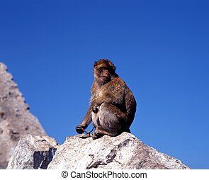 Barbary ape on rock, Gibraltar - Barbary ape sitting on rock...