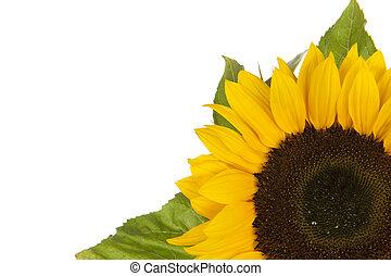 Sunflower, alias Helianthus annuus, in corner