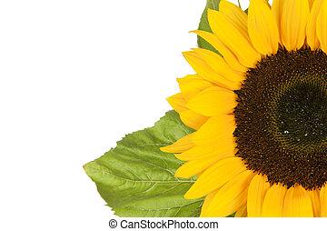 Sunflower, alias Helianthus annuus, sliced halfway isolated...