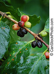 Coffee beans on coffee plant in Costa Rica - Coffee beans in...