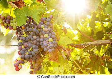 Bunch of grapes at sunset