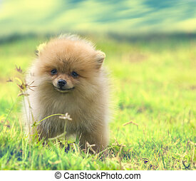 Pomeranian - Baby Pomeranian with nature and blue sky