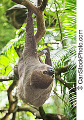 Three-toed Sloth - Brown-throated Three-toed Sloth, Bradypus