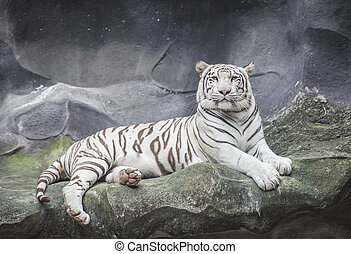 WHITE TIGER on a rock