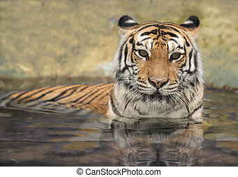 asian tiger in the water